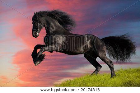 friesen stallion gallop in sunset