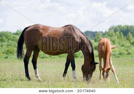 trakehner mare and foal in field
