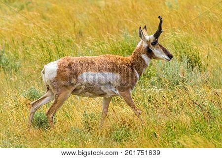 Pronghorn Antelope walking in a Wyoming Meadow