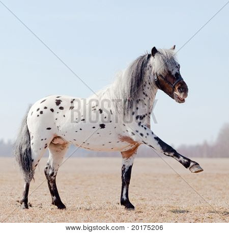 Horse with raised leg in field