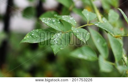 Beautiful Water Drops on Tree Leaves After Rain
