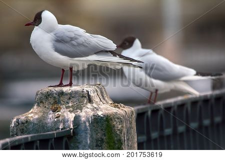 Black-headed Gulls On Background Of Houses And Cars