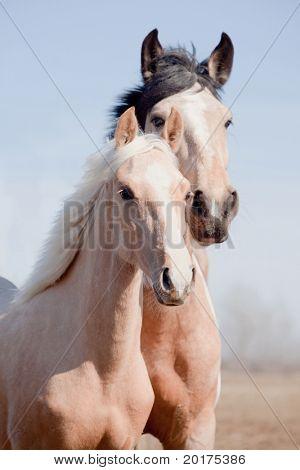 Portrait of beautiful appaloosa mare with cream foal in field