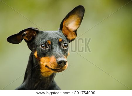 Miniature Pinscher dog outdoor portrait head shot