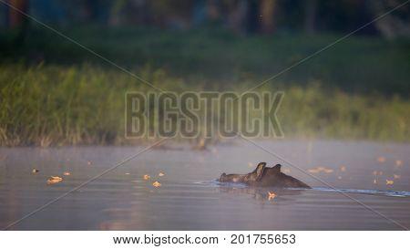 Wild Boar Swimming In Water