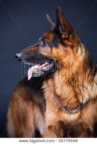 German shepherd in studio on black background