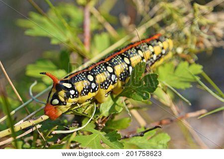 gallium sphinx spurge hawk moth caterpillar in the forest