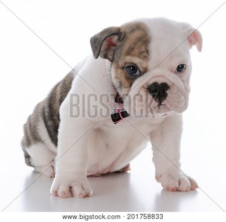 cute male bulldog puppy wearing bowtie one white background