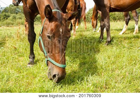 Group of horses eating the green grass