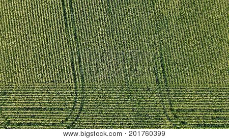 Aerial photo over lines of corn crop field