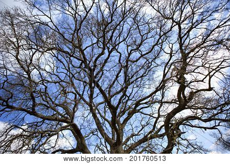 Enormous oak on a cloudy background in Winter