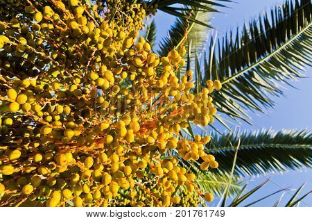 Fruits of a palm tree at sunset in Sithonia, Greece