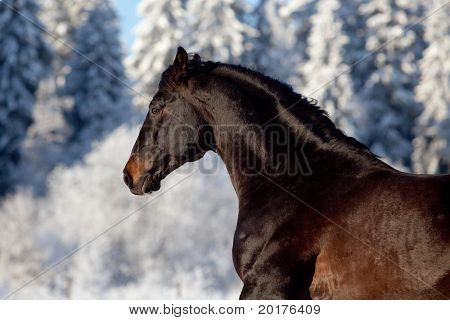Black trakehner stallion galloping in wood in winter