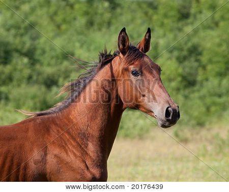 Bay trakehner young stallion galloping in wood in summer