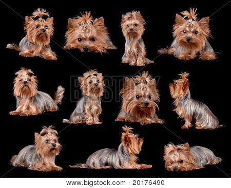 Yorkshire Terrier in front of a black background, studio shot poster