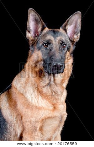 German Shepherd in front (portrait), isolated on black background, studio shot.