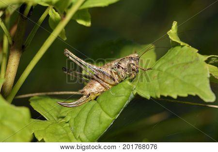 Dark Bush-cricket - Pholidoptera griseoaptera Female on Leaf