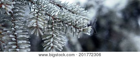 Pine branches covered with hoarfrost crystals Pine branch with long needles in the frost. Christmas tree with pine