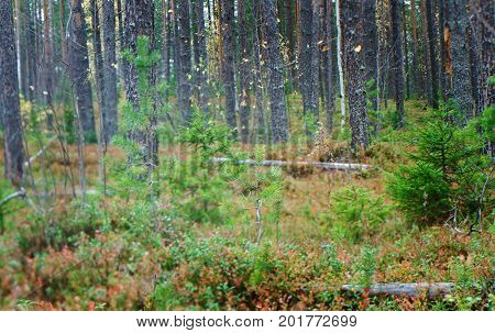 autumnal dense forest landscape.Deep Taiga Forest. Russia