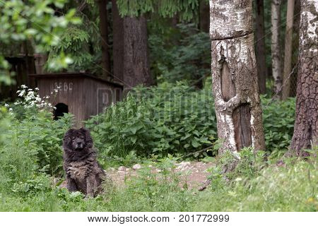 ST. PETERSBURG, RUSSIA - JUNE 30, 2017: Black shaggy dog in the shelter for homeless animals of the foundation Vernost. About 40 big dogs living in the shelter today