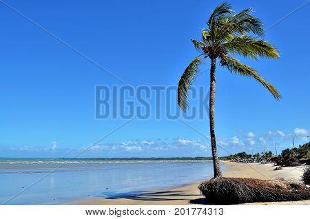 Coconut tree by the sea in sunny day and blue sky in Porto Seguro beach, Bahia, Brazil