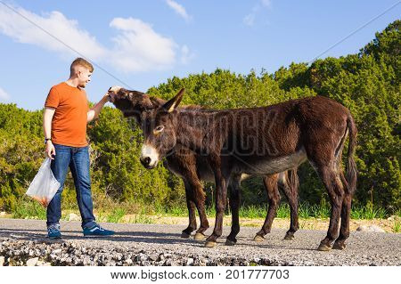 Young man feeding a wild donkeys out of hand. Wildlife, mammals, animals and nature concept.