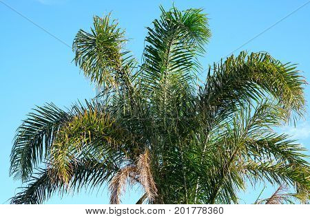 Australian Golden Cane Palm Tree Fronds