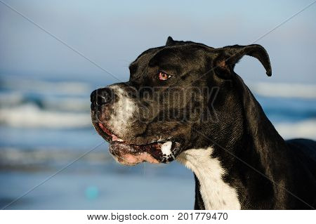 Great Dane dog outdoor portrait head shot against ocean