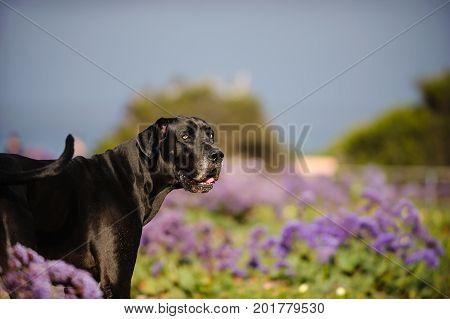 Great Dane dog outdoor portrait in flower field