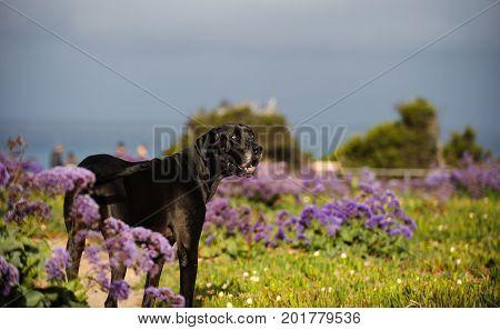 Great Dane dog outdoor portrait in purple flowers