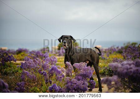 Great Dane dog outdoor portrait in field of purple flowers