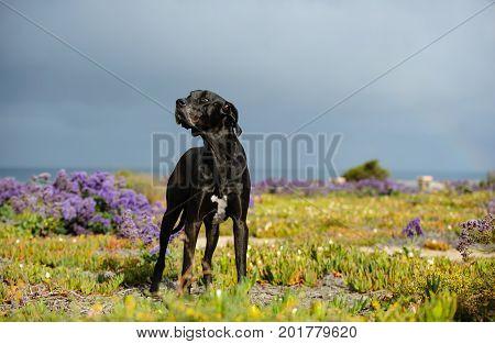 Great Dane dog outdoor portrait standing in field