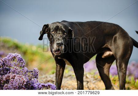 Great Dane dog outdoor portrait in purple flower field