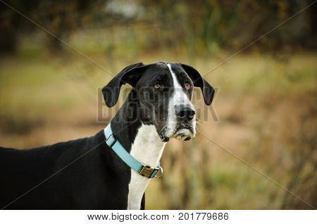 Great Dane dog outdoor portrait in field
