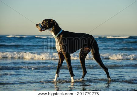 Great Dane dog outdoor portrait standing in ocean
