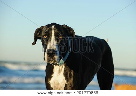 Great Dane dog outdoor portrait at ocean with waves