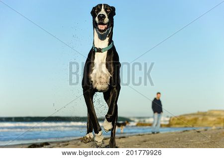 Great Dane dog outdoor portrait running at camera
