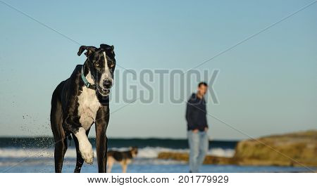 Great Dane dog outdoor portrait running on beach with man in background