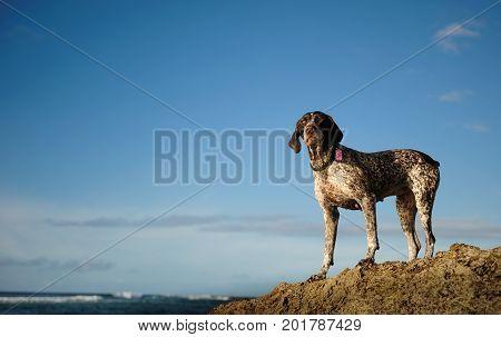 German Shorthaired Pointer dog outdoor portrait standing on rock overlooking ocean