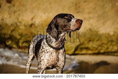 German Shorthaired Pointer dog outdoor portrait on rocky beach