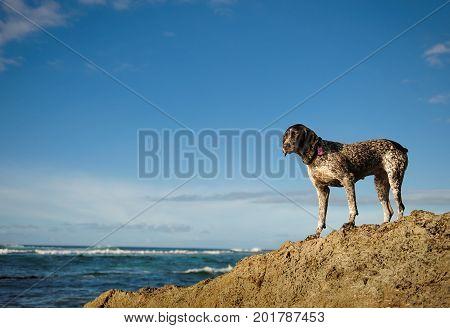 German Shorthaired Pointer dog outdoor portrait standing on rocks overlooking ocean