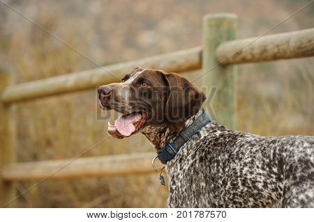 German Shorthaired Pointer dog outdoors by wood fence