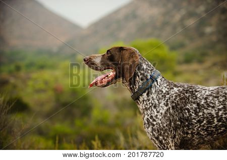 German Shorthaired Pointer dog in hills and bushes
