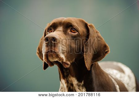 German Shorthaired Pointer dog portrait against natural background