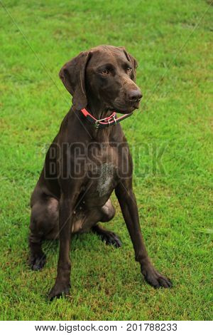 German Shorthaired Pointer female two years old