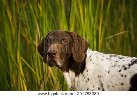 German Shorthaired Pointer dog portrait against green reeds