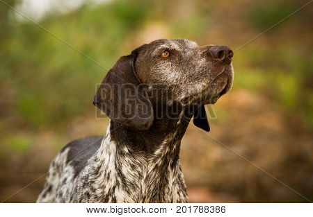 German Shorthaired Pointer dog portrait in nature