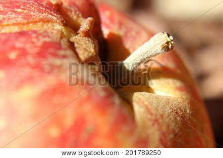Macro of a Fuzzy Red Apple Stem in the morning sunlight