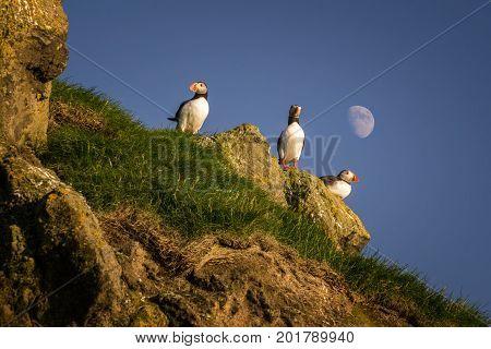 Three puffins on Mykines island with moon in background Faroe Islands