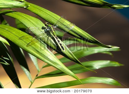 Hdr  Dragon Fly On A Palm Plant